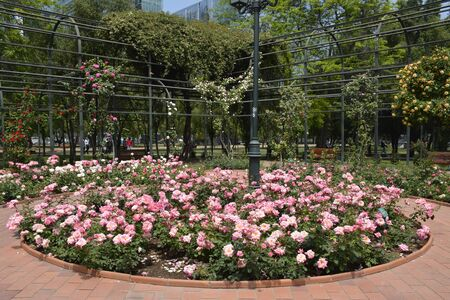 rose tree: Roses in Santiago, Chile Stock Photo