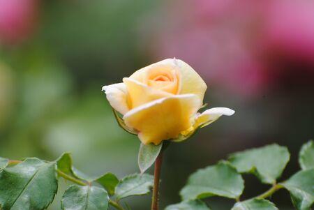 rosas amarillas: Rosas en Santiago, Chile