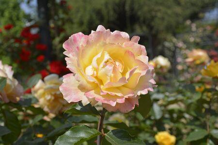 rosas rojas: Rosas incre�bles en Santiago, Chile