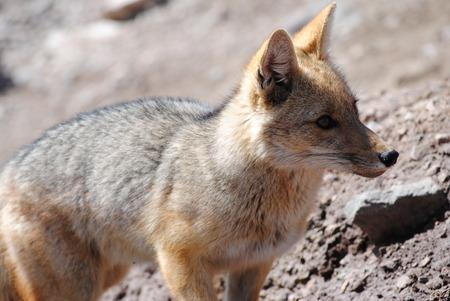 Chilean fox found at mount Andes Reklamní fotografie