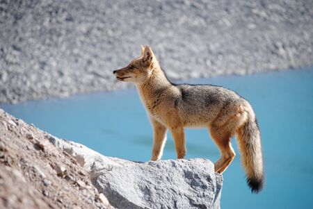 Chilean fox found at the Andes mountain