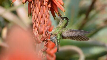 Hummingbird at a park in Santiago Stock Photo