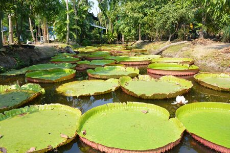 Victoria Amazonica or water Lily in Thailand