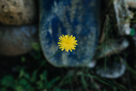 yellow garden flower with blue background Stock Photo