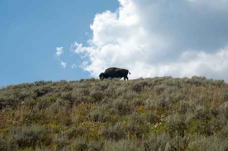 Bison on a Hill -Yellowstone National Park photo