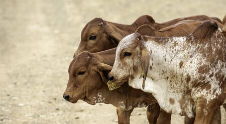 Brahman calves, brown calves, cows, young, walking in a group Stock Photo