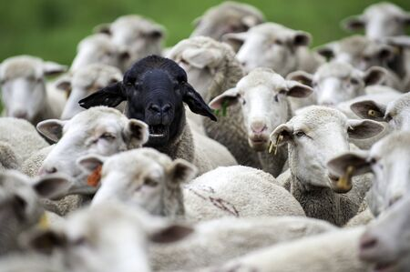 the black sheep in the group, one black faced sheep in a group of white sheep, herd