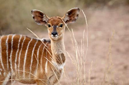 A Nyala antelope in South Africa