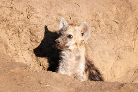 Hyena, South Africa, Up close, in the bush, in the dirt