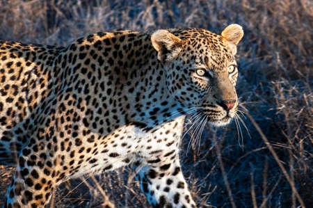 Leopard, South Africa, walking through the bush