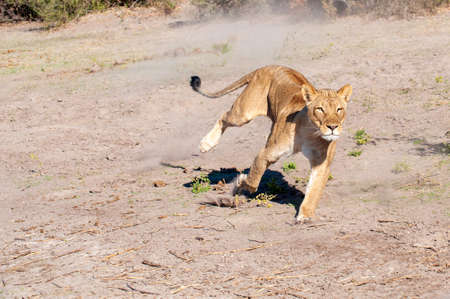 Lioness chase, lioness on her own looking for warthog (picture 3 in series of 9)