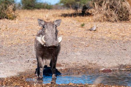 Warthog, wild, at watering hold, up close Stock Photo