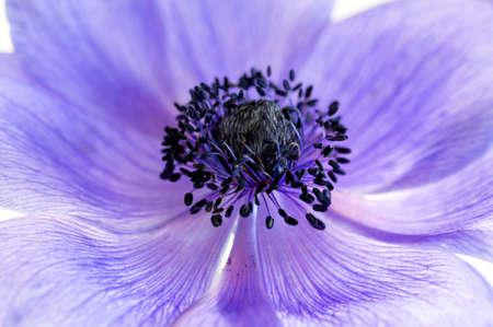 Purple Anemone flower, translucent, and high key image