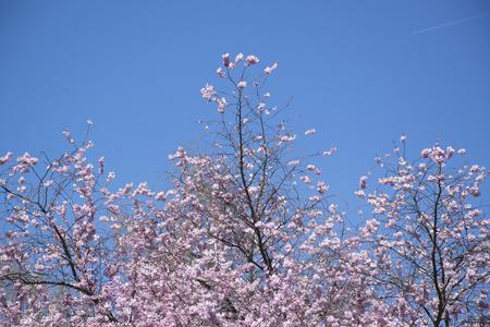 purple flowers on the tree tops Stock Photo