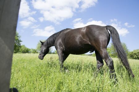black stallion on meadow