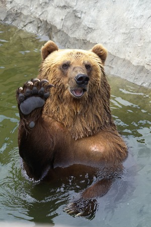 foreleg: bear greets everyone