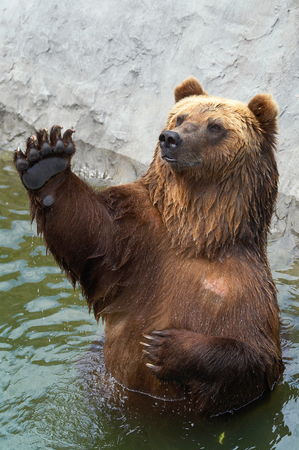 foreleg: Brown bear greets somebody Stock Photo