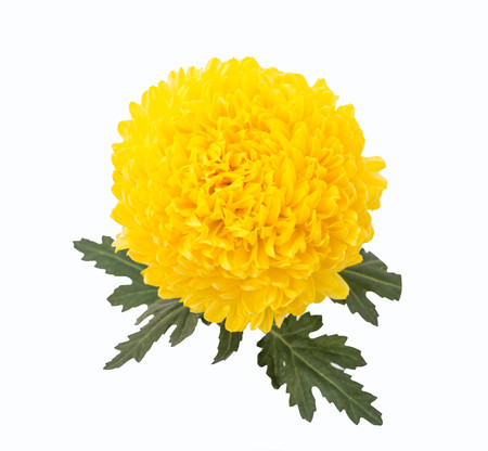 rivalry: Chrysanthemums Rivalry Stock Photo