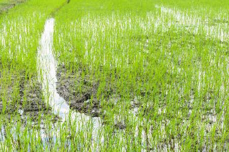 nurture: The field of rice