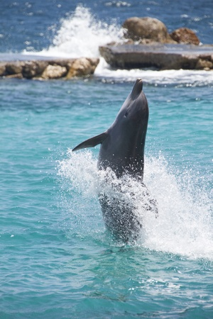 Dolphin showing off in the Caribbean water photo