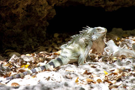 Attentive iguana Stock Photo