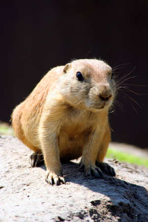 Prarie dog sitting on the ground Stock Photo
