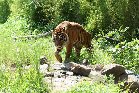 Walking tiger Stock Photo