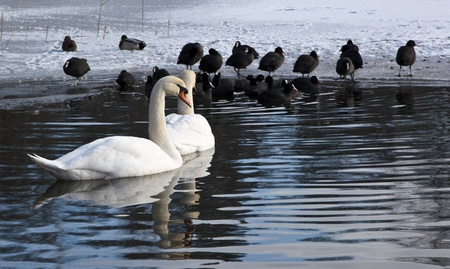 Two Swans in a almost frozen lake