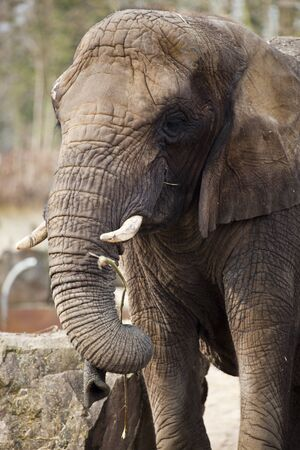 A close up of an african elephant feeding Stock Photo - 12979580