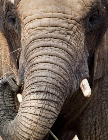 A close up of an african elephant feeding photo