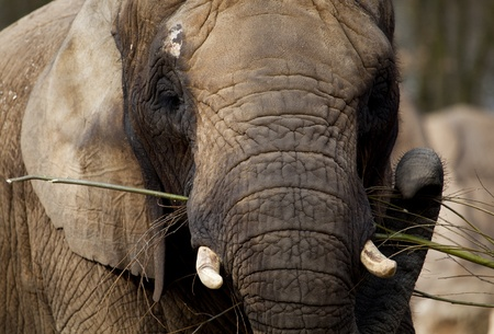 A close up of an african elephant feeding Stock Photo - 12979375