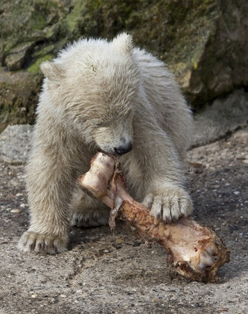 Little Polar bear with bone