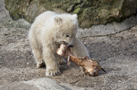 Little Polar bear with bone photo