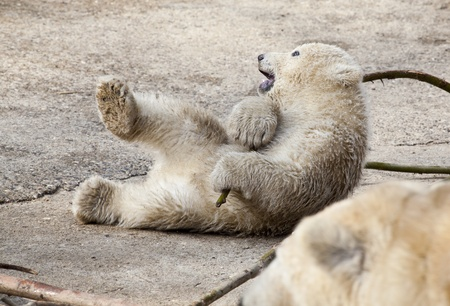 Playing Polar bear