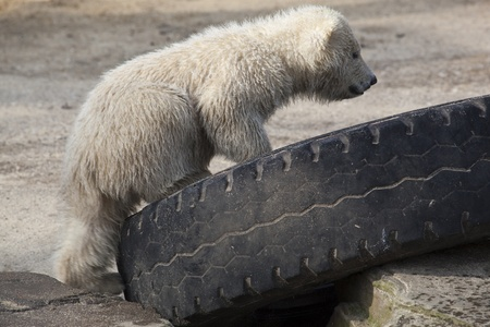 Cute little polar bear playing with tyre photo
