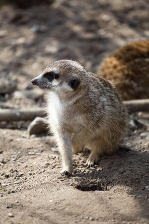 Meerkat Stock Photo - 12979627
