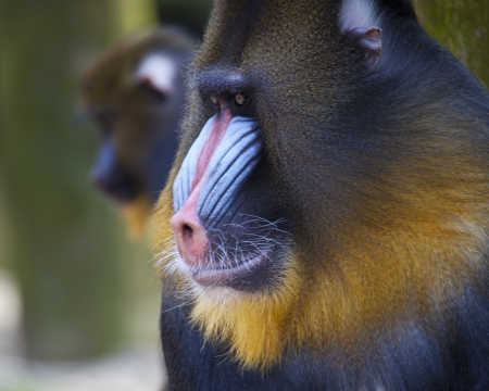 Close up portrait of baboon monkey