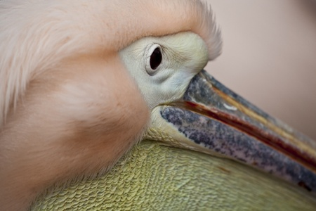ridiculous: A close-up of a pelican Stock Photo