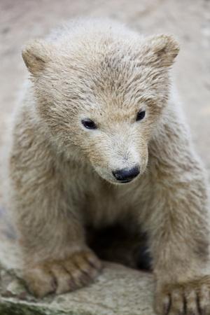 cute polar bear Stock Photo - 12979700