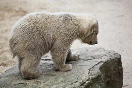wet bear: cute polar bear