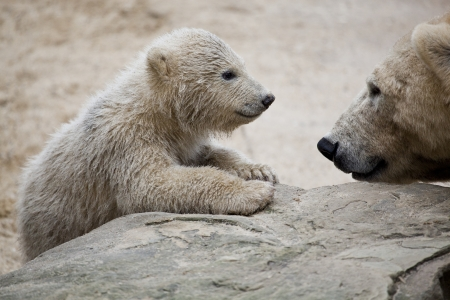 wet bear: cute polar bear with mother