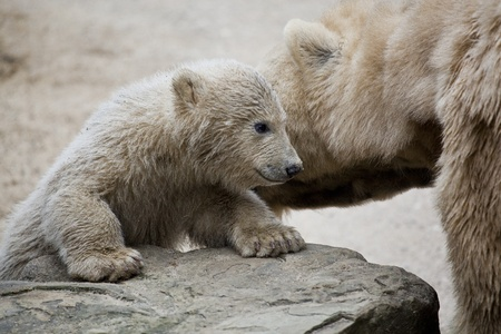 cute polar bear with mother photo