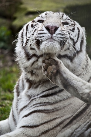 The white tiger scratches Stock Photo - 12979745