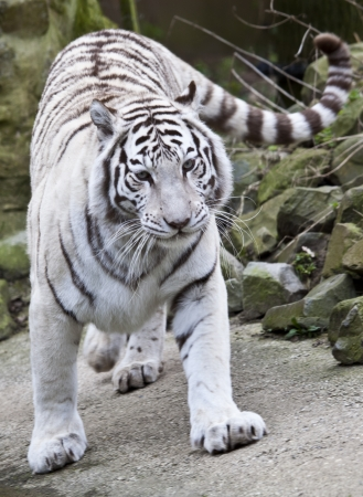 albino: White tiger walking