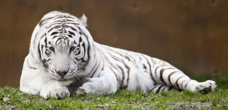black and white forest: White tiger