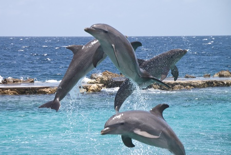 Four Dolphins showing off in the Caribbean water