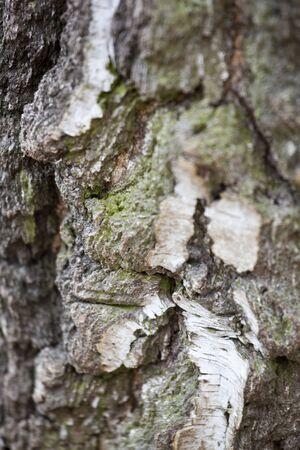 Old birch tree background texture Stock Photo - 13237631
