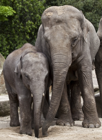 Asian baby elephant with mother