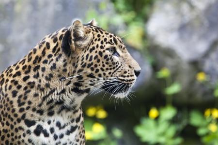 close-up of a beautiful Panther Stock Photo