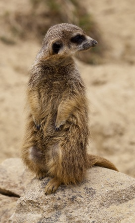 adapted: Alert meerkat Stock Photo